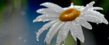 priroda-romashka-cvetok-kapli